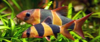 2 рыбки боция клоун