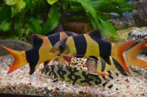 боции в аквариуме 2