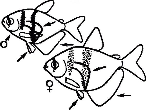 рисунок самки и самца тернеции