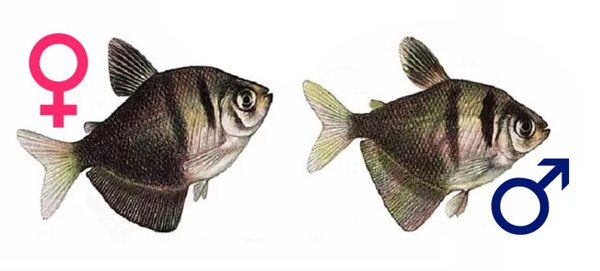 рисунок самки и самца