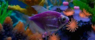 рыбка тернеция глофиш