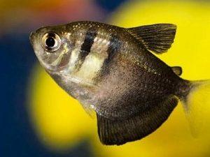 рыбка тернеция 1