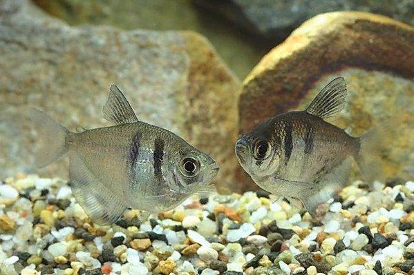 самка и самец рыбка тернеция