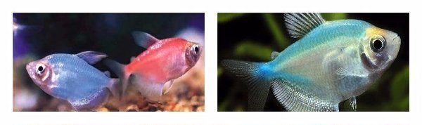 самка и самец тернеции
