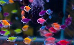 стайка рыбок глофиш
