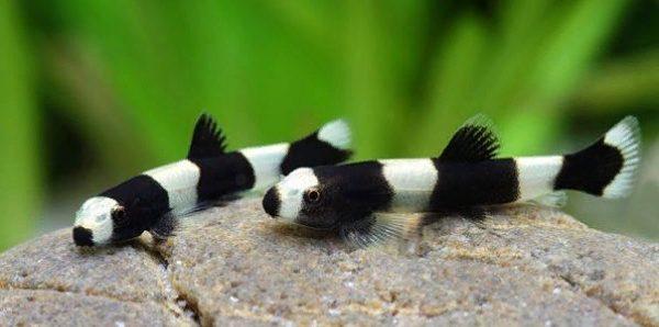 боция панда