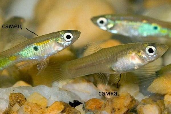 Самец и самка гуппи мальков