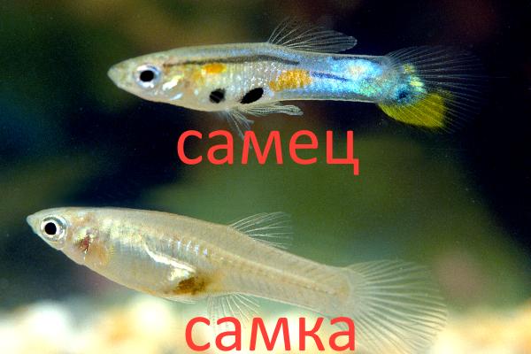 Самец и самка эндлеров