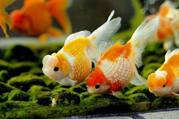Оранды в аквариуме
