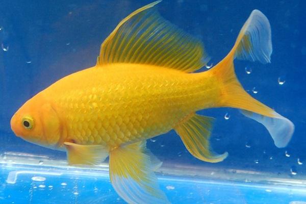 Жёлтая