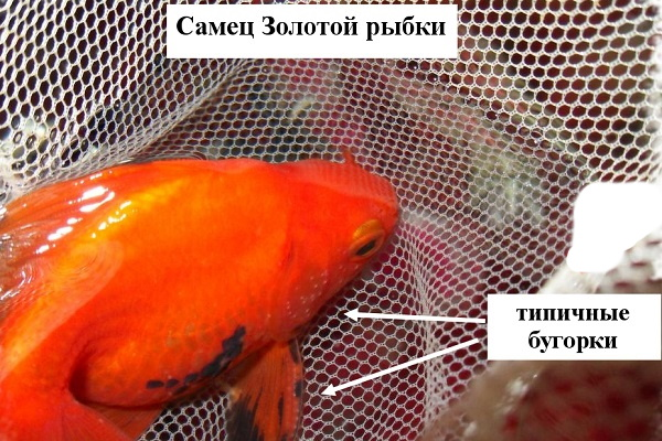 Самец золотой рыбки
