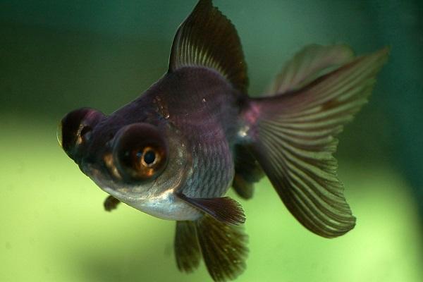 Рыбка телескоп аквариумная