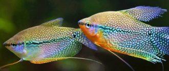 Самец и самка гурами