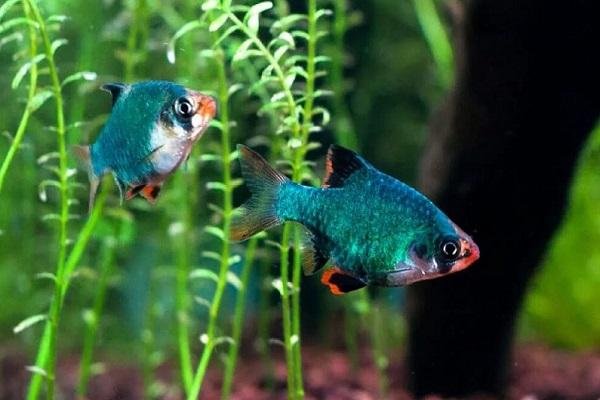 Барбусы мутант в аквариуме