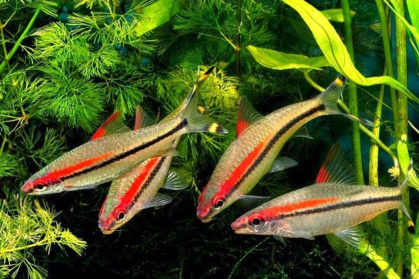 Денисони в аквариуме