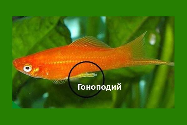 Гоноподий